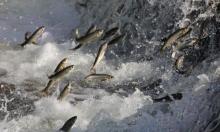 """بحيرة """"وان"""": عروض السمك المثيرة قبيل موسم التزاوج"""