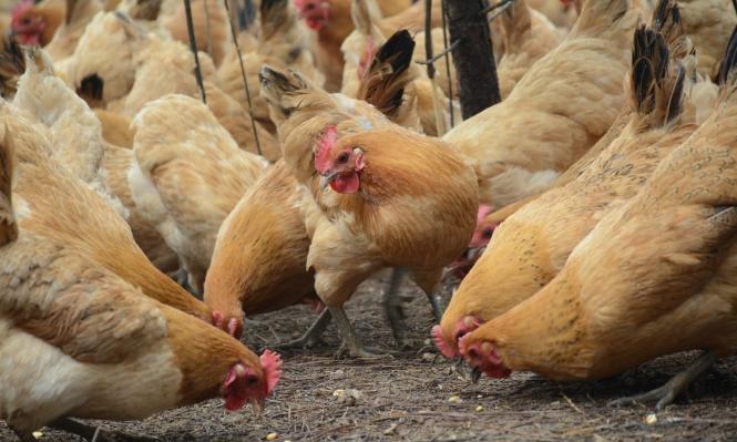 الصين تقرر تطعيم الدواجن ضد أنفلونزا الطيور
