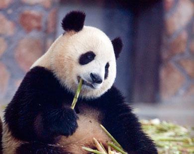 رصد فضلات حيوان الباندا المهدد بالانقراض لمعرفة أعداده
