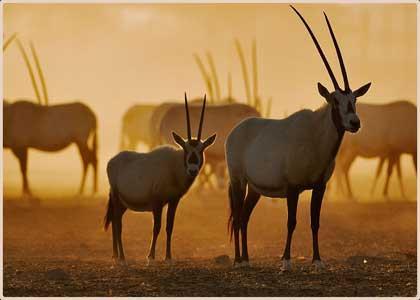 """المها العربي يتغلب على """"خطر الانقراض"""" في أنجح التجارب تاريخيا لحماية الحيوان"""
