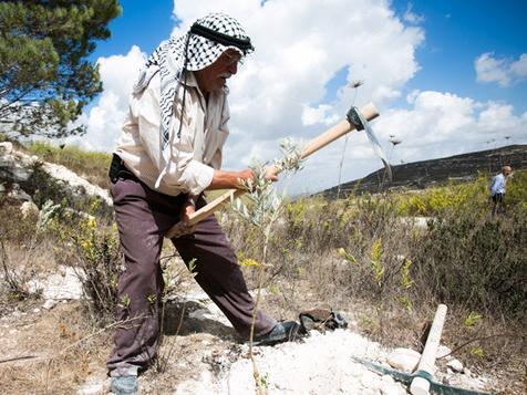96% من شكاوى الفلسطينيين حول تخريب أشجار زيتون لم يتم التعامل معها بجدية
