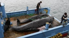 صيد الحيتان: سجال بين اليابان ولجنة دولية مختصّة