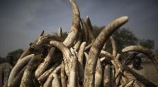 ضبط أكثر من ثلاثة أطنان من العاج الأفريقي في تايلاند