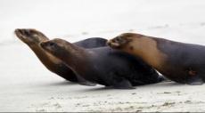 نفوق أسد البحر المهدد بالانقراض بعد إصابته برمح صيد