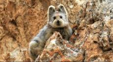 بعد نشر صوره؛ هذا الحيوان مهدد بالانقراض!