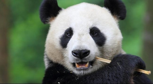 لمَ تأكل الباندا البامبو فقط؟