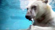 هكذا سجّل الدب القطبي رقمًا قياسيا
