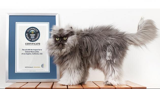 جديد موسوعة جينيس: القط الأكبر في العالم!