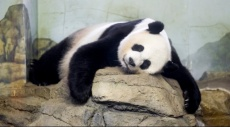 الباندا مي شيانخ حامل: هذه أعراض حملها!