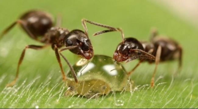 دراسة: النمل قادر على معالجة نفسه