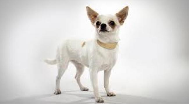 """كلب """"شيواوا"""" ينقذ منزلًا من السرقة"""