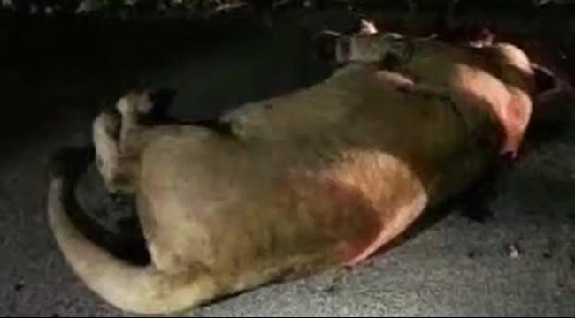 الشرطة الصينية تقتل أسدًا فارًا