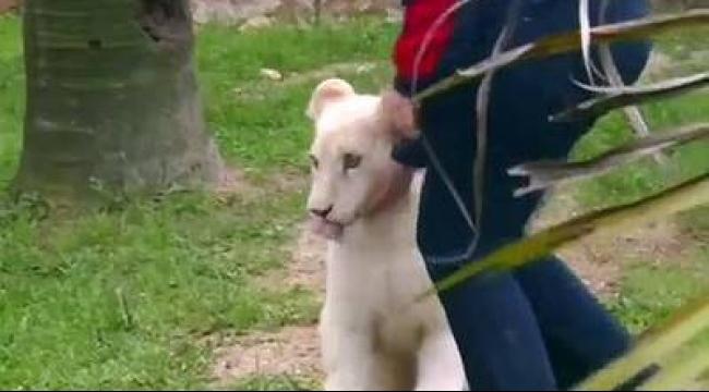 (فيديو) أول أسد أبيض في البرازيل