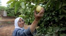 """""""قلقيليّة يا جوافة"""": الفاكهة المدللة"""