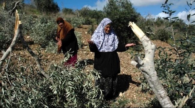 مستوطنون يحطمون أشجار زيتون جنوب شرق نابلس
