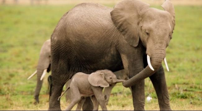هل تملك الفيلة جينات لعلاج السرطان؟