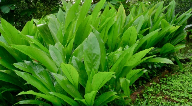 نباتات معدلة وراثيا لعلاج السرطان والإيدز