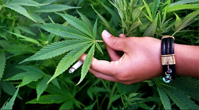 استراليا تسمح بزراعة الماريجوانا الطبية