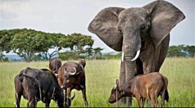 صياد ألماني يقتل أضخم فيل في زيمبابوي