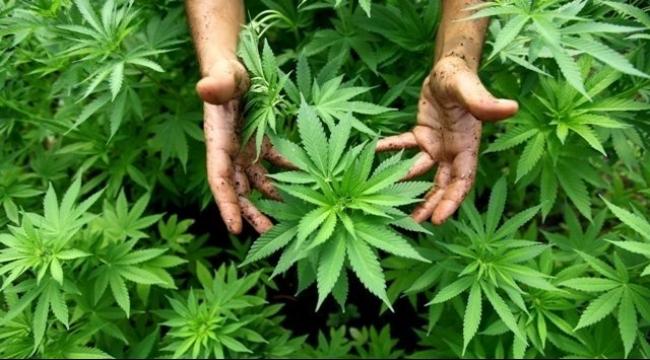 ألمانيا تدرس إمكانية إنشاء وكالة خاصة بالقنب المخدر