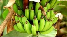 نوع من الفطر يهدد محاصيل الموز