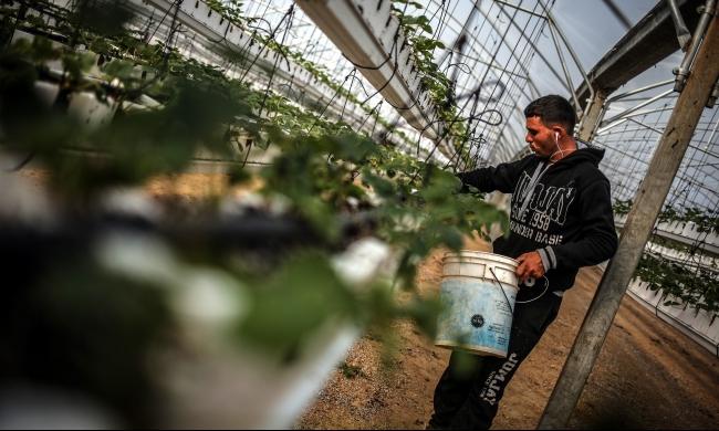 غزّة: نجاح أول تجربة لزراعة الفراولة المعلقة