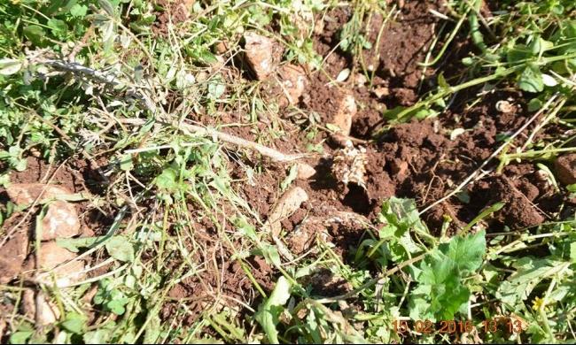 سلفيت: الاحتلال يقتلع 100 غرزة زيتون في واد قانا