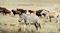 استنساخ الكواجا بعد 130 عاما من انقراضه
