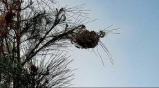 نحف: إغلاق المتنزه البلدي بسبب دود الصنوبر