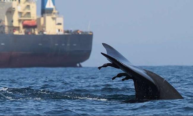 رغم الانتقادات الدولية: اليابان تبدأ حملة لصيد الحيتان