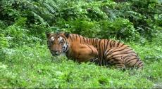 ارتفاع أعداد النمور في العالم لأول مرة منذ 100 عام