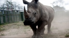 """مقتل """"نتومبي"""" أنثى وحيد القرن الأشهر في العالم"""
