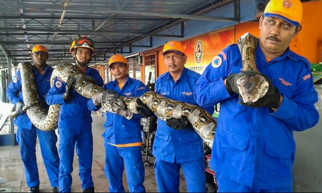العثور على أطول ثعبان في العالم بماليزيا
