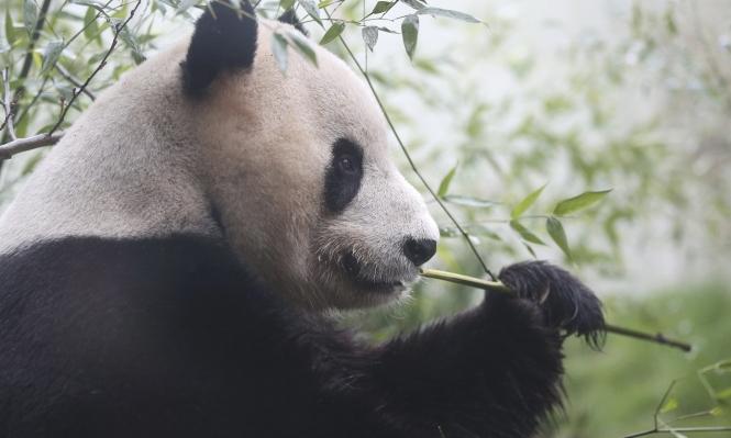 أول ظهور للباندا الصينية العملاقة في مقرها الجديد