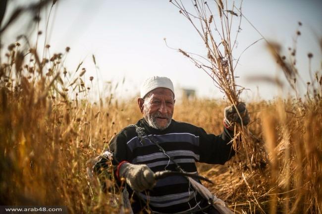 غزة: حصاد القمح والشعير رغم بنادق الاحتلال