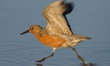 تغير المناخ يتسبب بتناقص أعداد طائر العقدة الحمراء