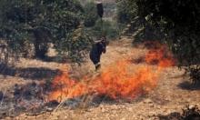 حريق يطال 1500 شجرة زيتون مثمرة جنوب طولكرم