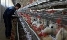 مسالخ الدجاج الإسرائيلية تسوق الدجاج الموبوء بالسالمونيلا