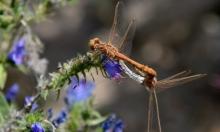 حشرة اليعسوب... مصدر إلهام لتصميم المروحيات