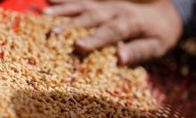 فساد القمح المصري: عقود وهمية وقمح على ورق