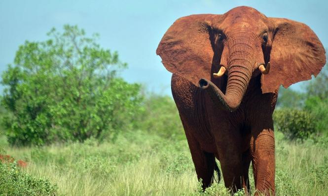 دراسة: الصيد الجائر للأفيال يهدد الأنظمة البيئية