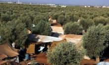 الزيتون... وتد خيمة النزوح السوري