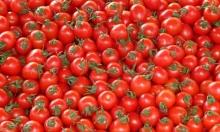 طريقة جديدة لزراعة البندورة تزيد الإنتاج 26%