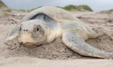 سلاحف بحرية مهددة بالانقراض تضع بيضها على شاطئ بالمكسيك
