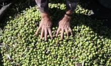 تكافل فلسطيني في موسم الزيتون
