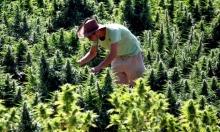 كاليفورنيا ستجني المليارات من تقنين الماريخوانا