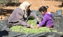 الزيتون في الثقافة الفلسطينية: فوائده وطريقة عصره