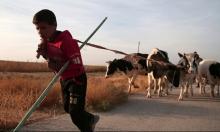 سورية: انخفاض قياسي في المساحات المزروعة والثروة الحيوانية