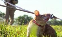 الفئران تكشف عن المتفجرات في تنزانيا