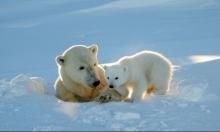 الدببة القطبية تختفي بسبب ذوبان الثلوج